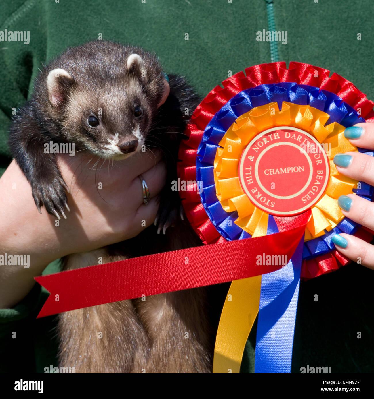 champion ferret - Stock Image