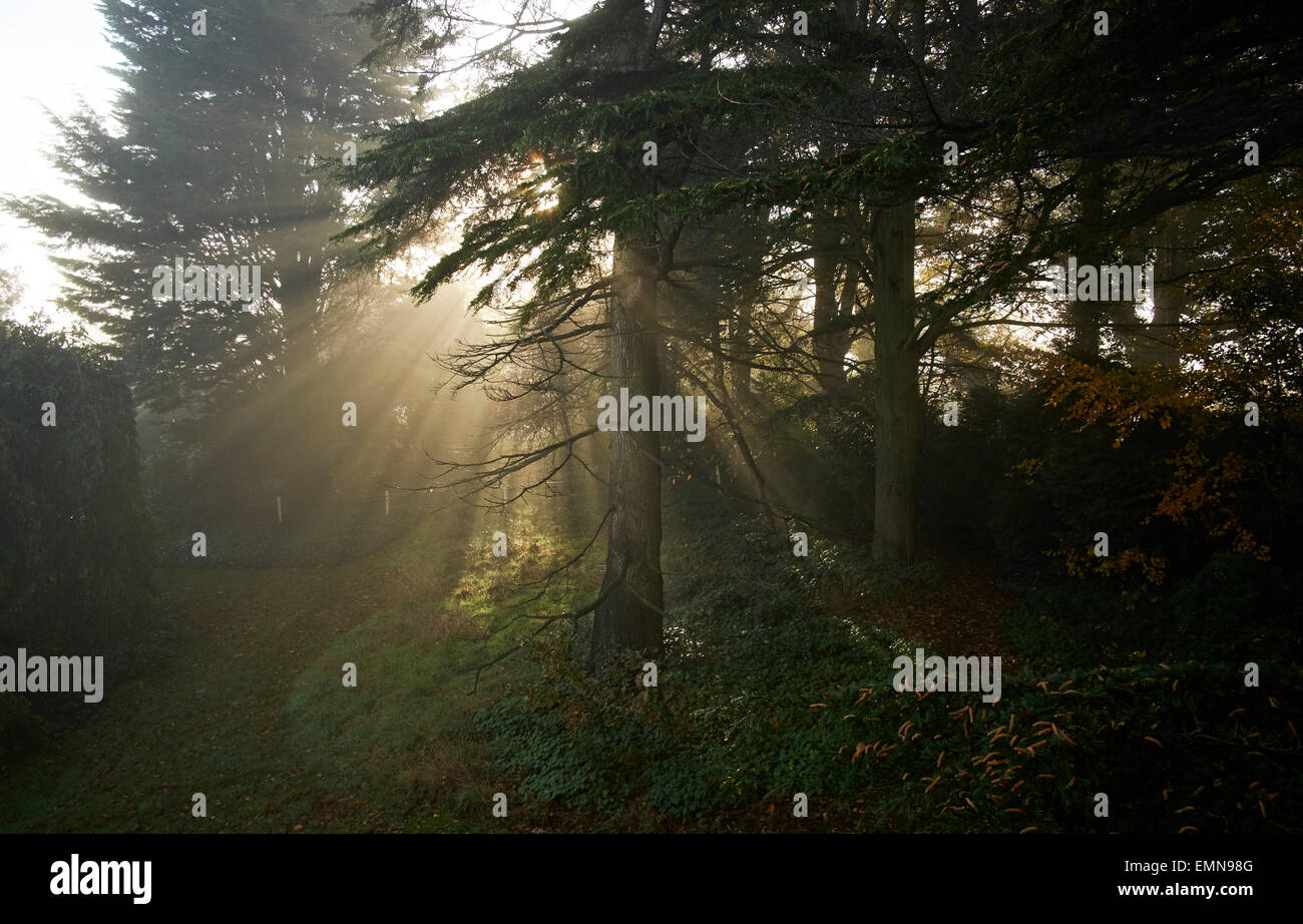 Bix, Henley on Thames, Oxfordshire. morning sunshine shines through an evergreen woods. The mark of a new beginning. - Stock Image