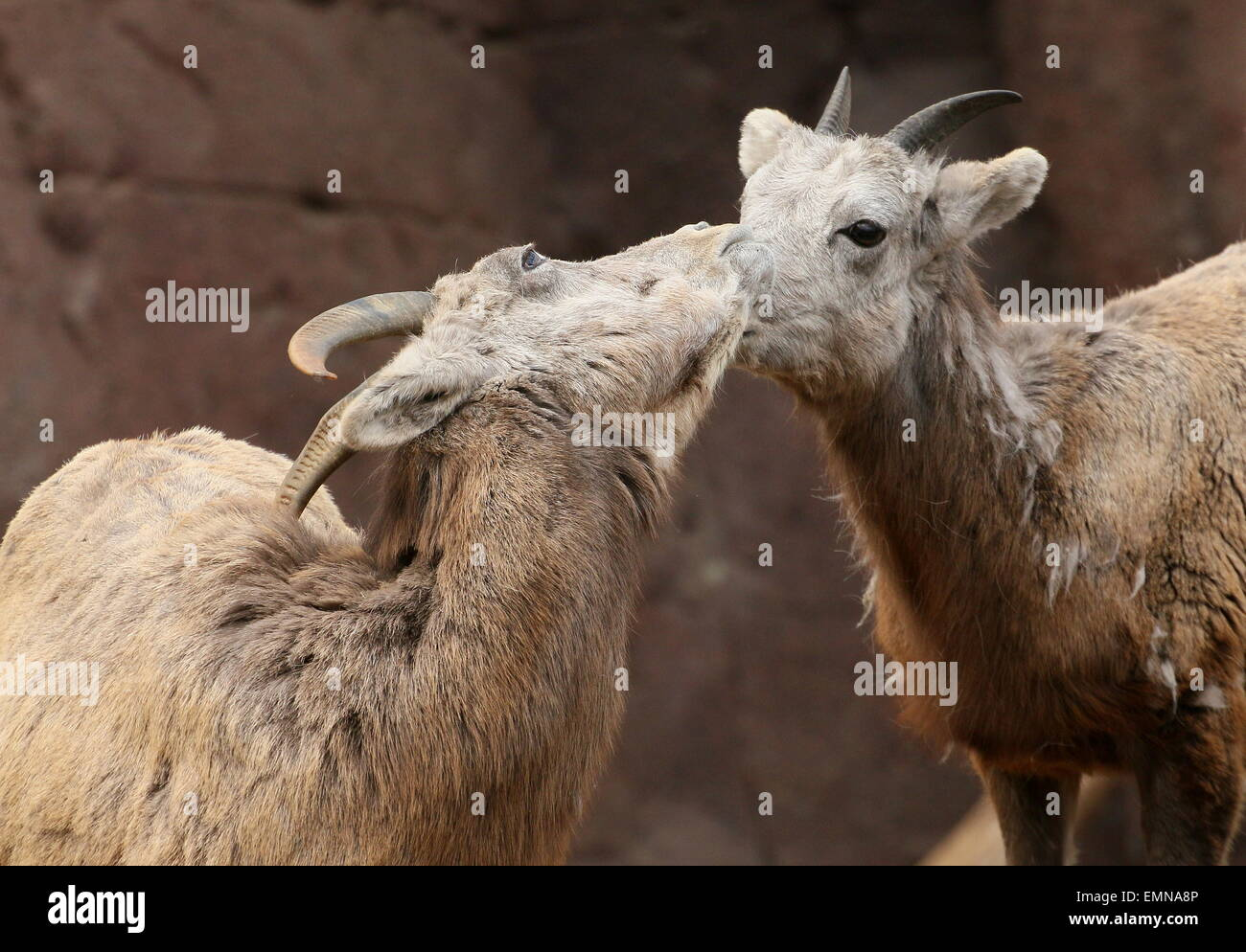 Two female  Bighorn sheep (Ovis canadensis) Stock Photo