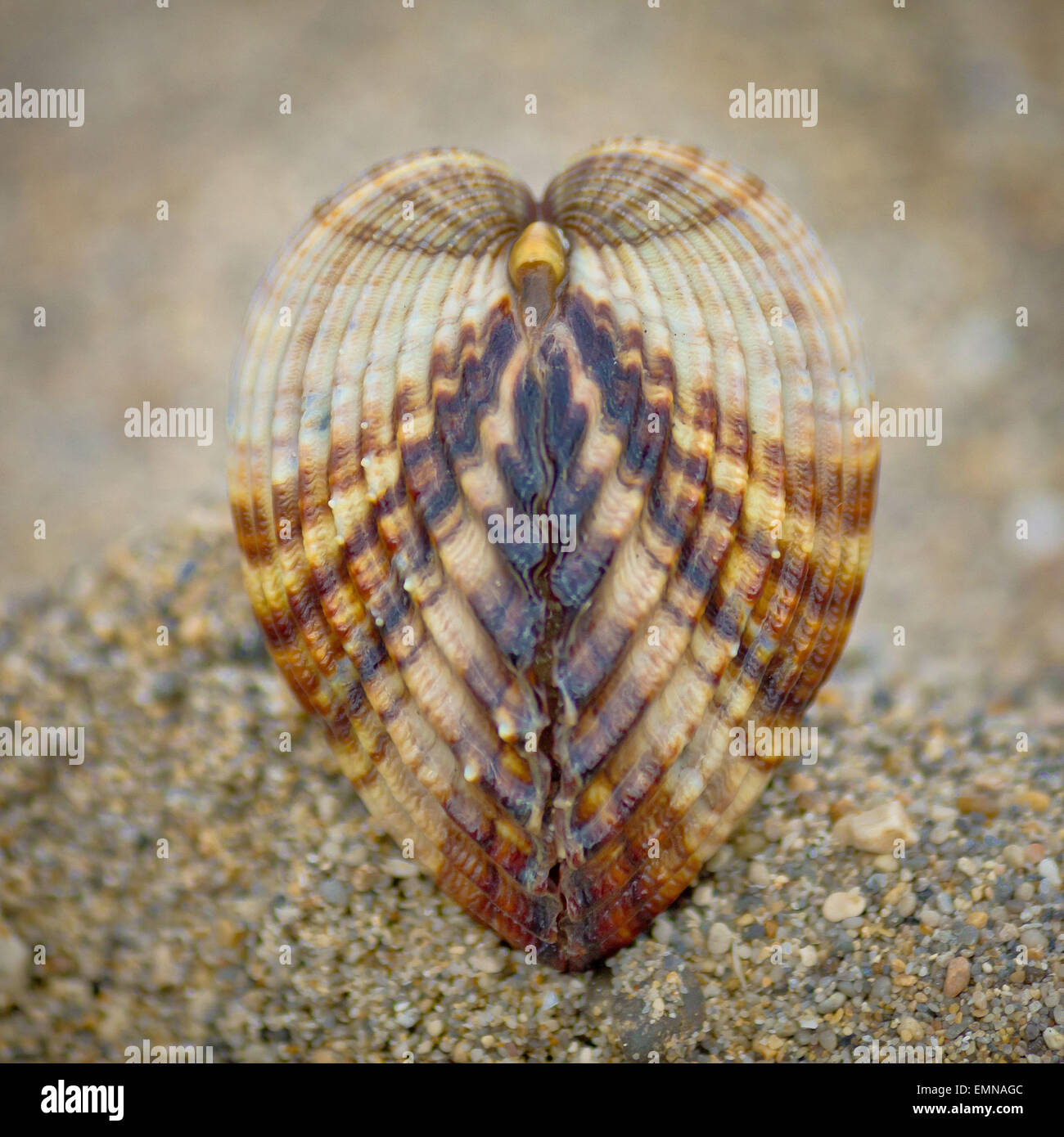 Symmetry of sea shell on the beach - Rough cockle (Acanthocardia tuberculata) - Stock Image