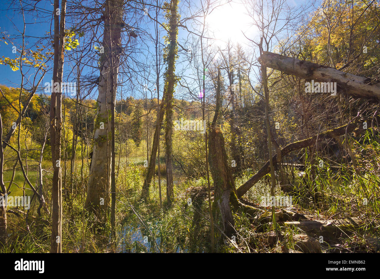 Jungle primeval forest in swamp of Plitvice lakes national park of Croatia Stock Photo