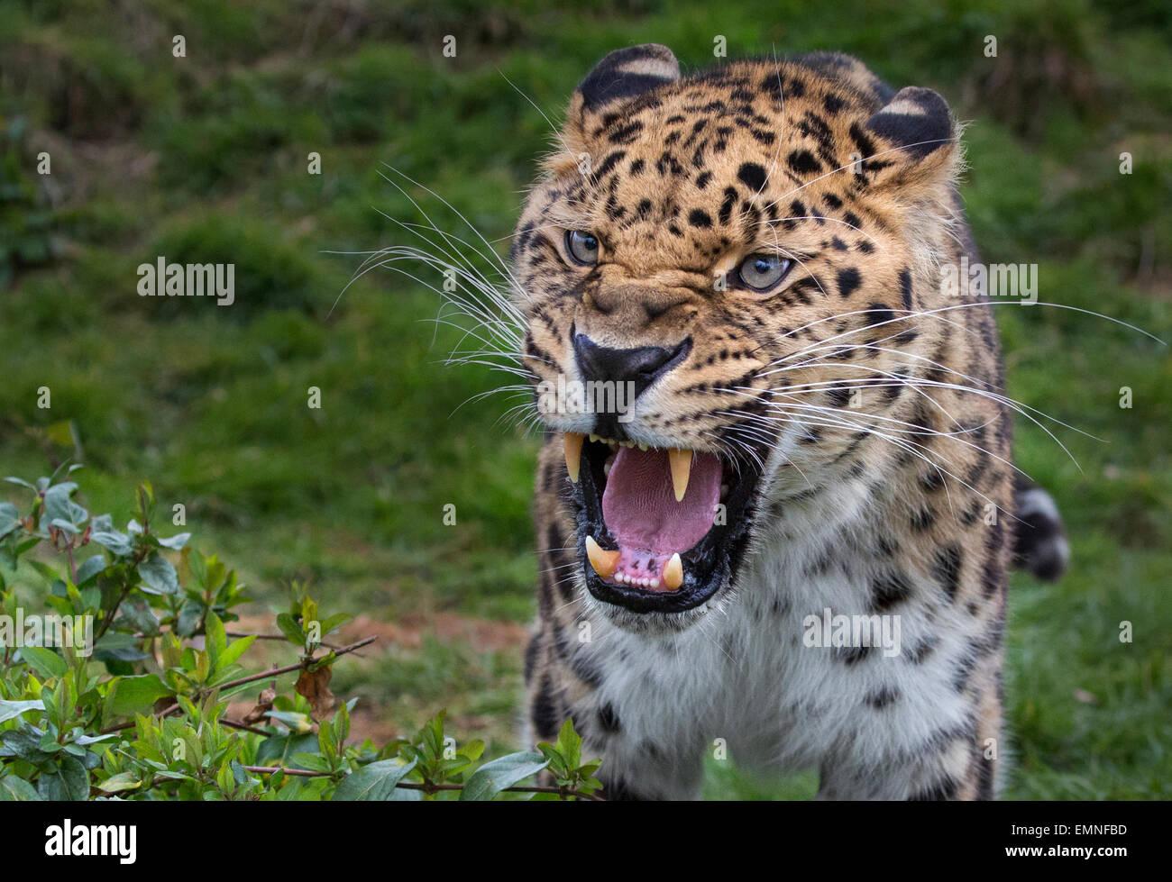 Growling Amur Leopard - Stock Image