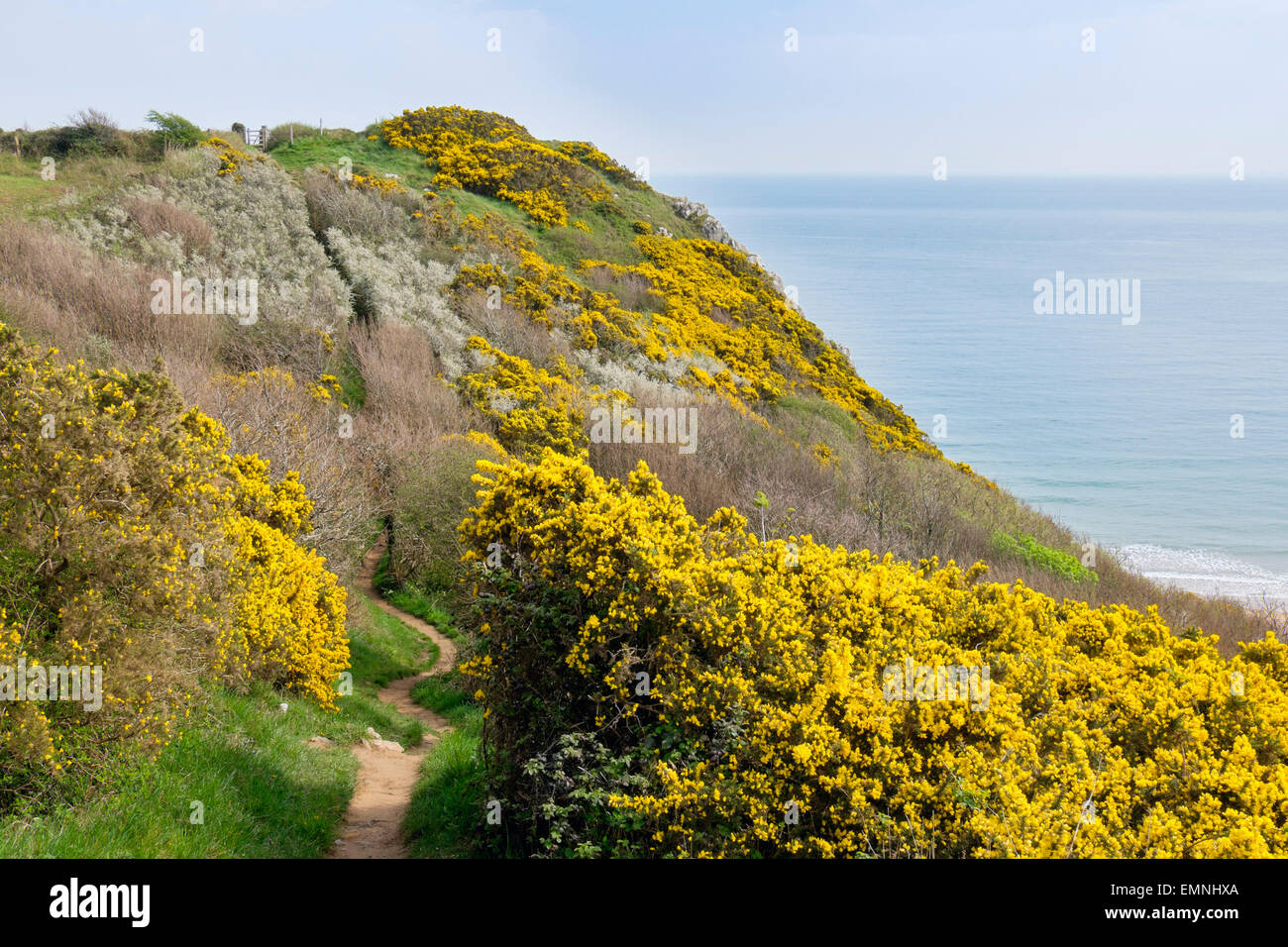 Coast footpath through flowering Gorse bushes on clifftop on Gower Peninsula. Nicholaston Swansea West Glamorgan - Stock Image