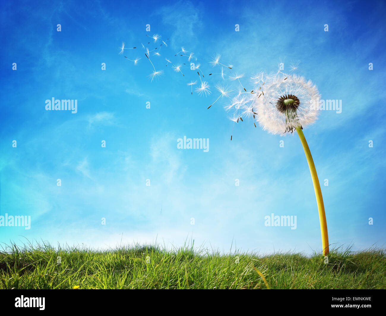 Dandelion clock dispersing seed - Stock Image