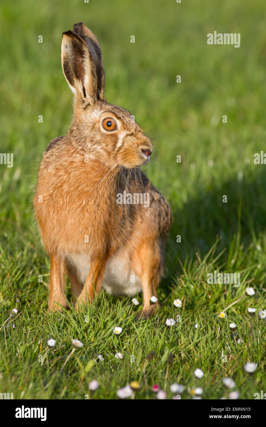 Single adult Brown Hare portrait - looking right with eye highlighted - portrait - Stock Image