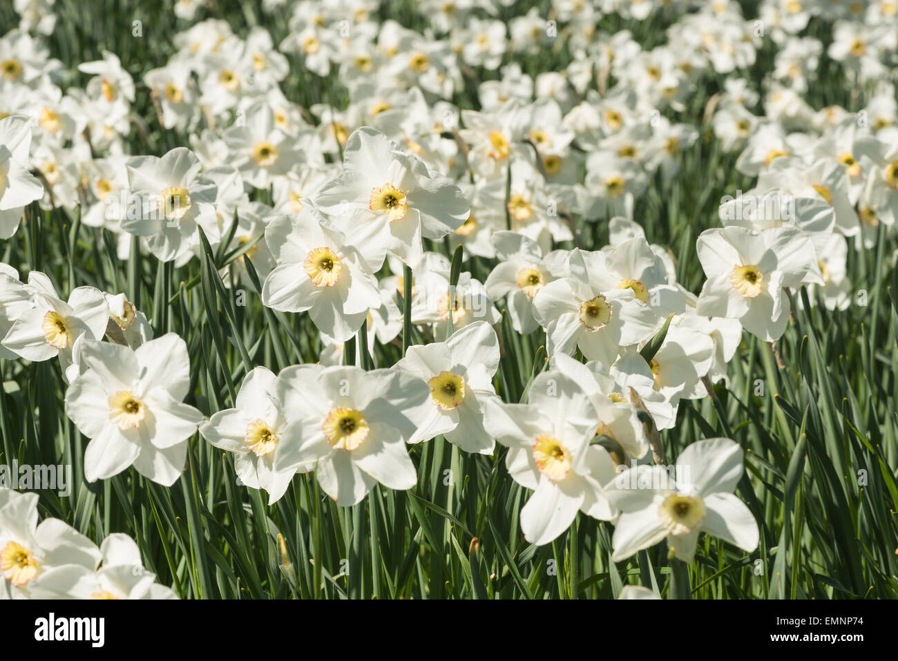 Spring White Narcissus Masses Lots Of Daffodil Bunch Of Flowers