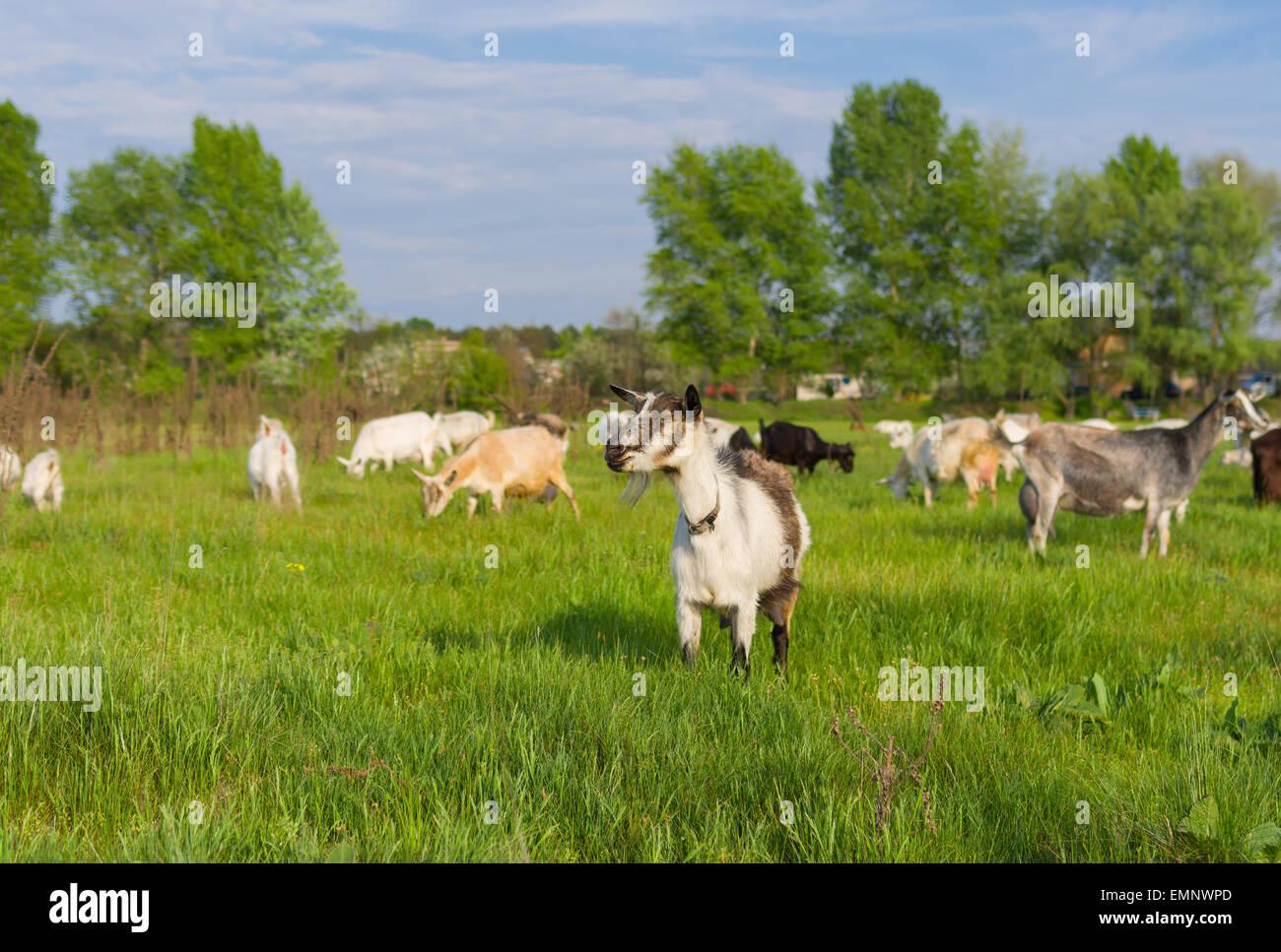 Ukrainian milk goats on a spring pasture (shalow dof) - Stock Image