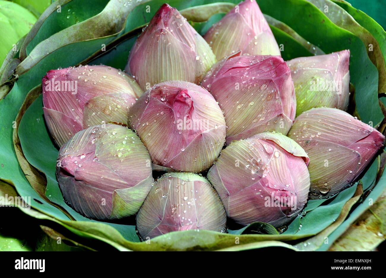 Bangkok Thailand A Bunch Of Pink Lotus Flower Buds Sprinkled With