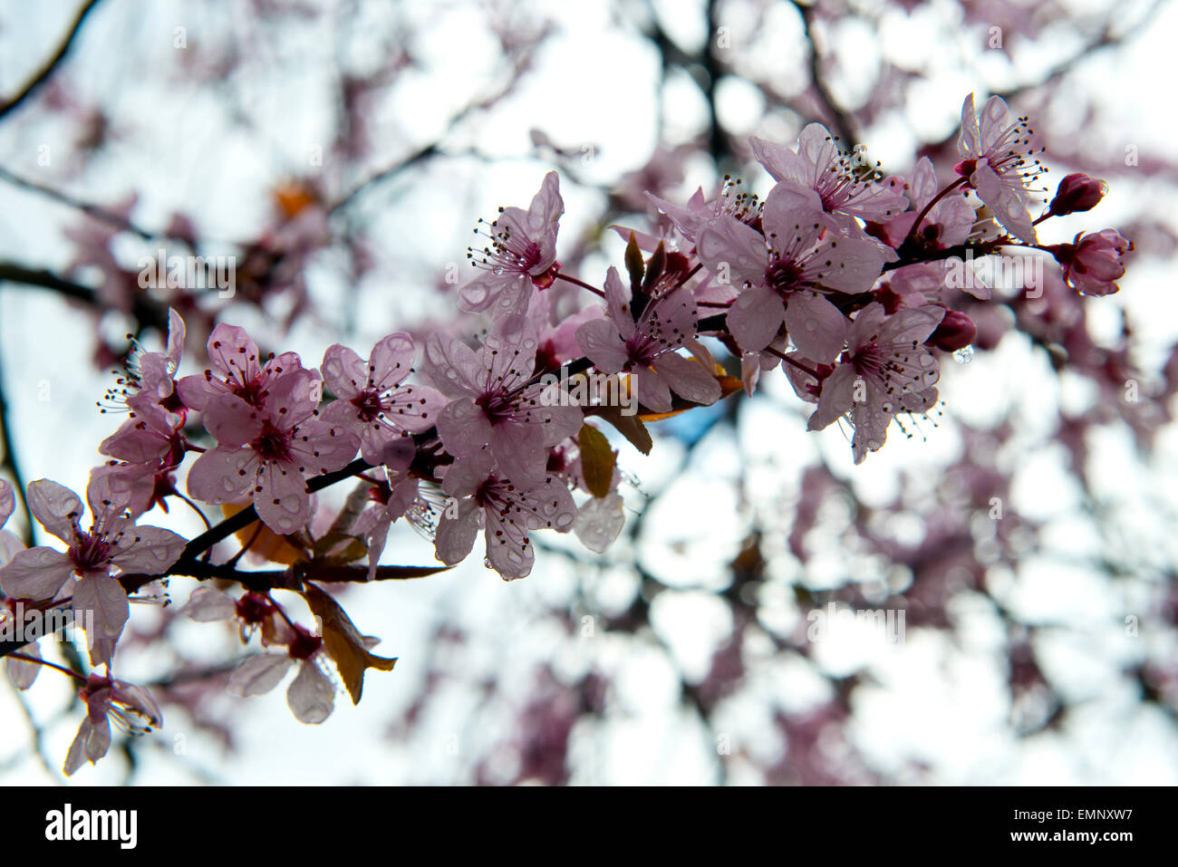 Pink flowers on a cherry plum tree prunus cerasifera pissaardii pink flowers on a cherry plum tree prunus cerasifera pissaardii with dark red leaves flowering in early spring mightylinksfo