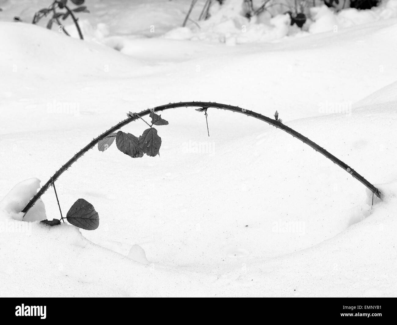 A thorn branch curved by the weight of a snow fall - Stock Image