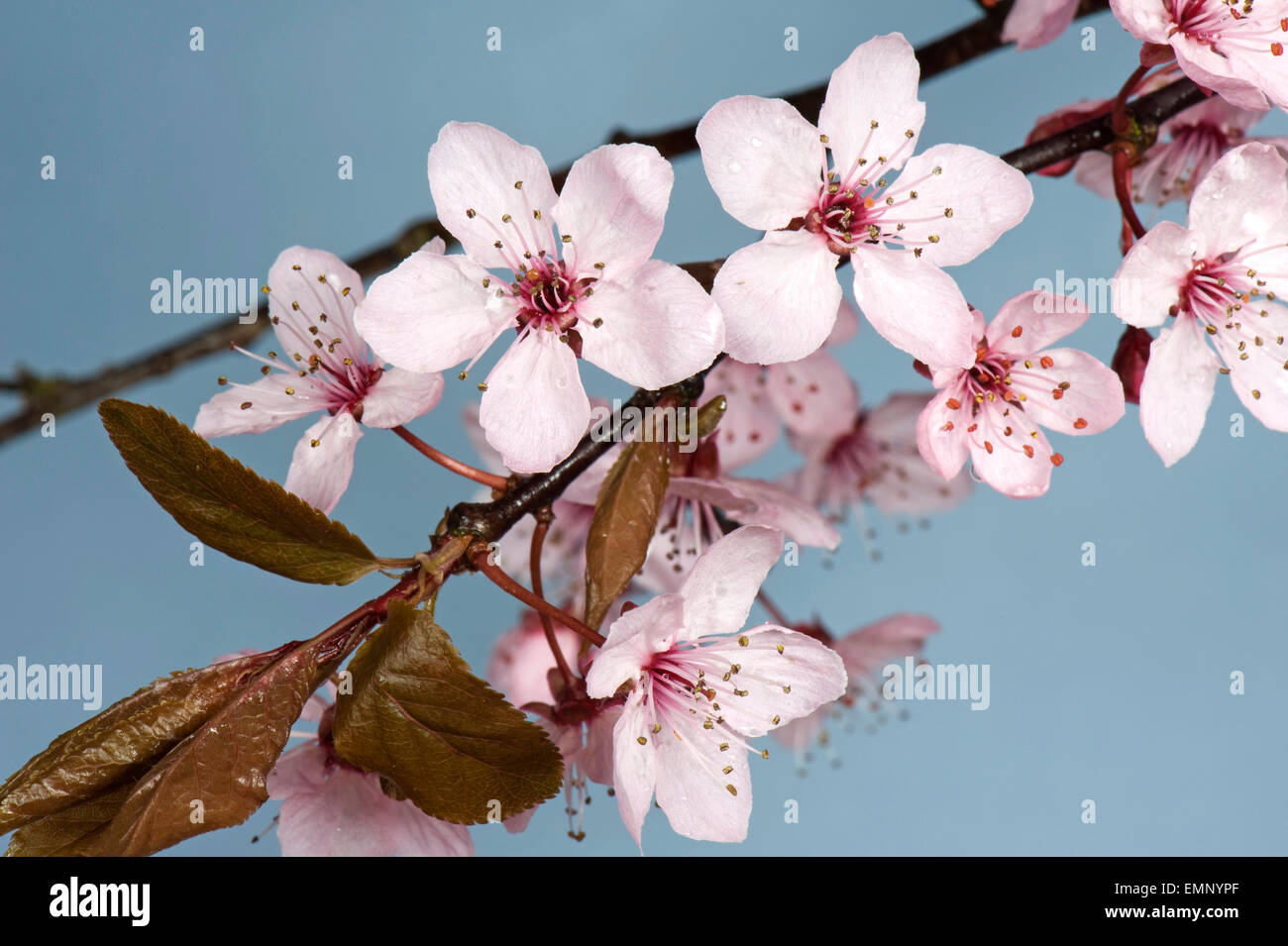 Pink Flowers On A Cherry Plum Tree Prunus Cerasifera Pissaardii
