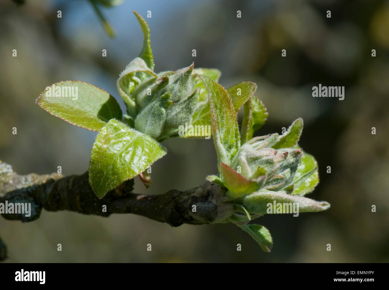 Green apple buds of flowers and leaves, green cluster, opening in spring sunshine on the tree - Stock Image