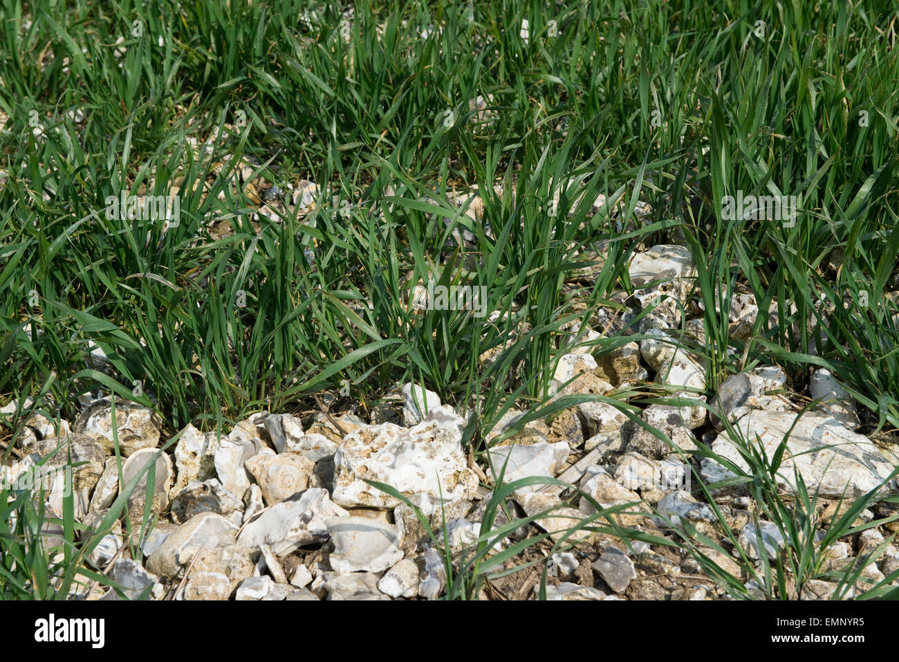 A young wheat crop groiwing in very stony, flint ground overlying chalk, Berkshire, UK , April - Stock Image