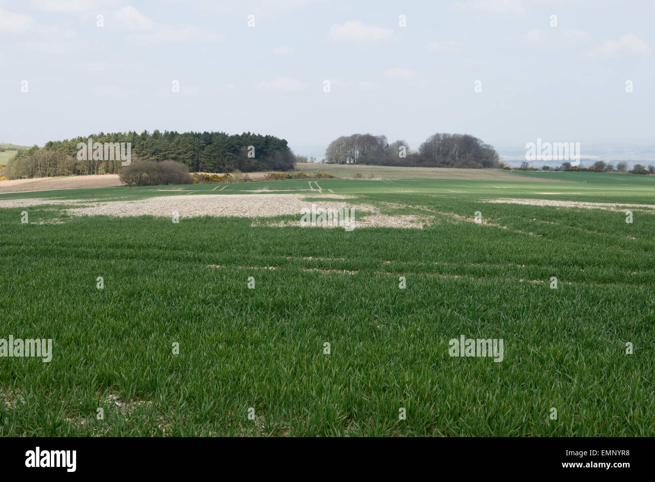 A young wheat crop growing in very stony, flint ground overlying chalk, Berkshire, UK , April - Stock Image