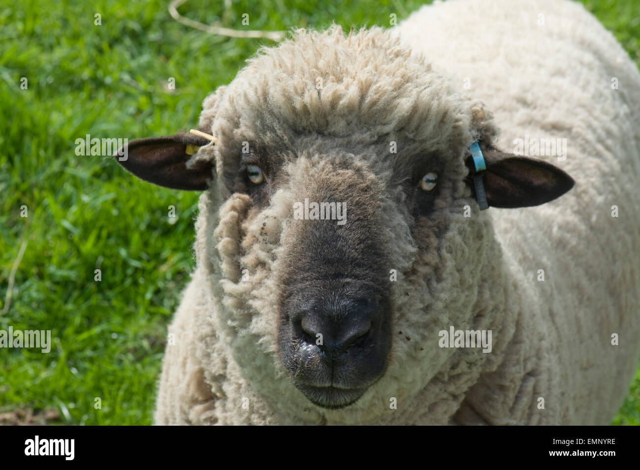Head of a Hampshire ram looking at the camera - Stock Image