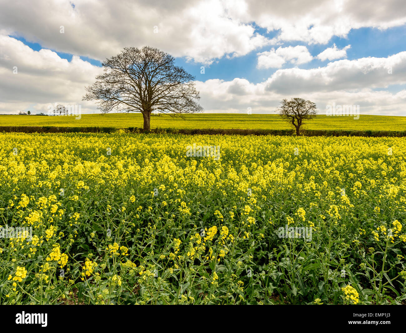 A wonderful view of the rapeseed fields of the Chiltern Hills in early spring whilst in blossom. - Stock Image