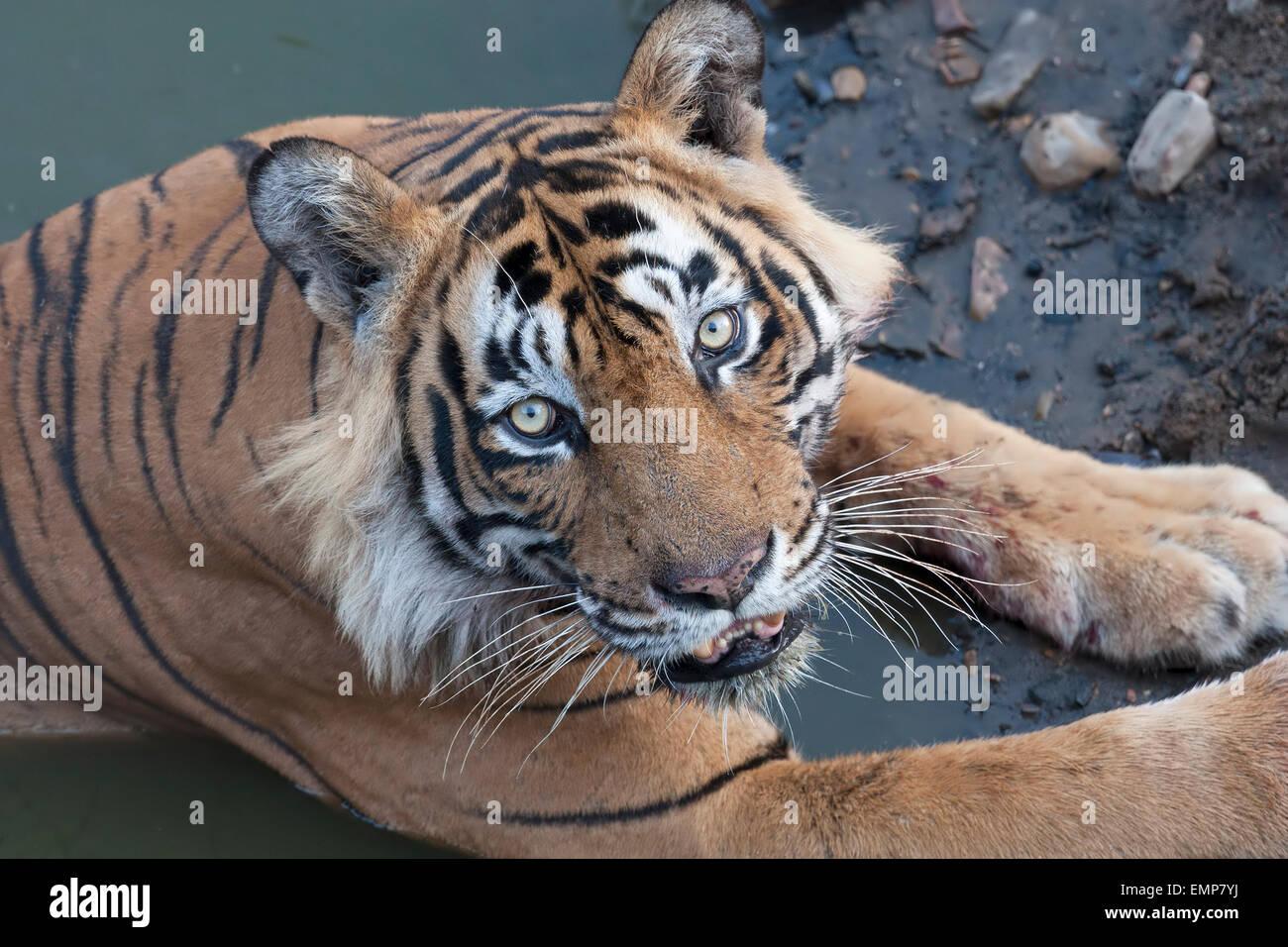 Royal Bengal Tiger or Panthera tigris tigris in water body at Rahthambhore National Park Rajasthan India - Stock Image