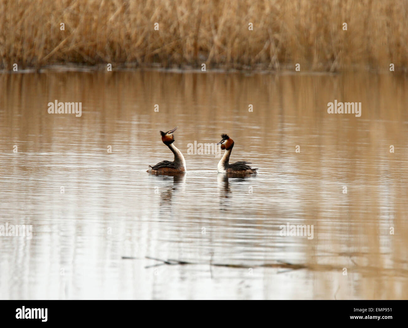 Pair of Great crested Grebes at Ham Wall nature reserve in Somerset, England, UK GB. - Stock Image