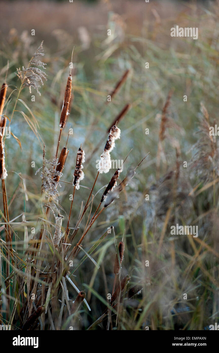 Winter wetland scene of seeding bulrushes - Stock Image
