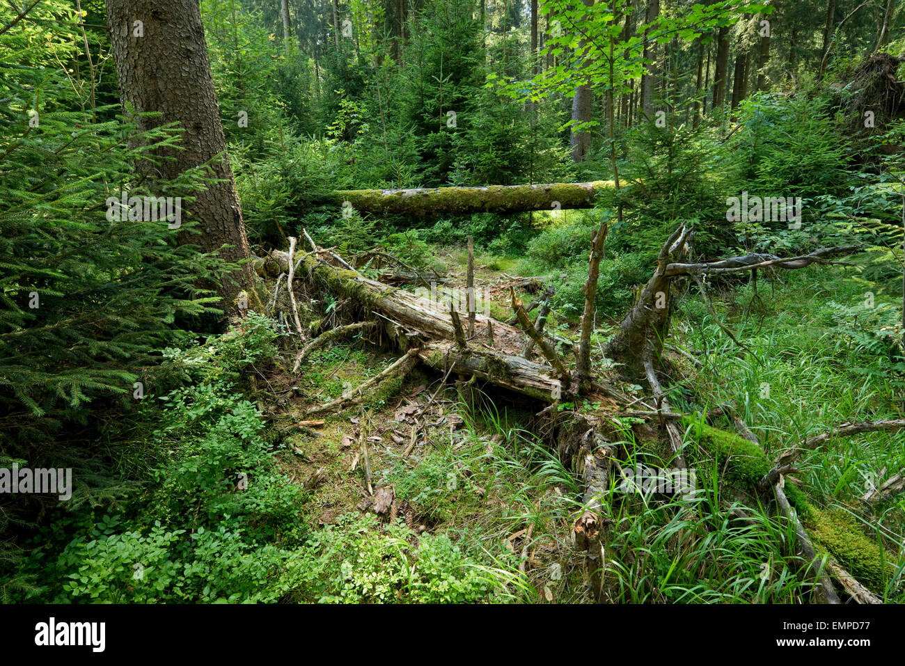 Dead wood in primeval spruce forest, Norway spruce (Picea abies), Harz National Park, Lower Saxony, Germany - Stock Image