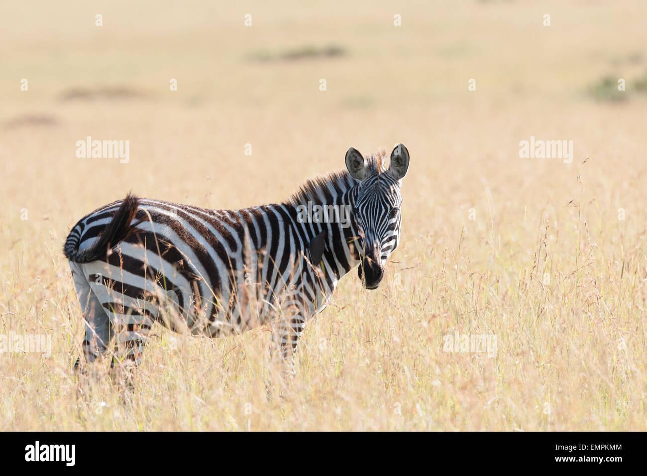zebra in the Savanna of Kenya - Stock Image