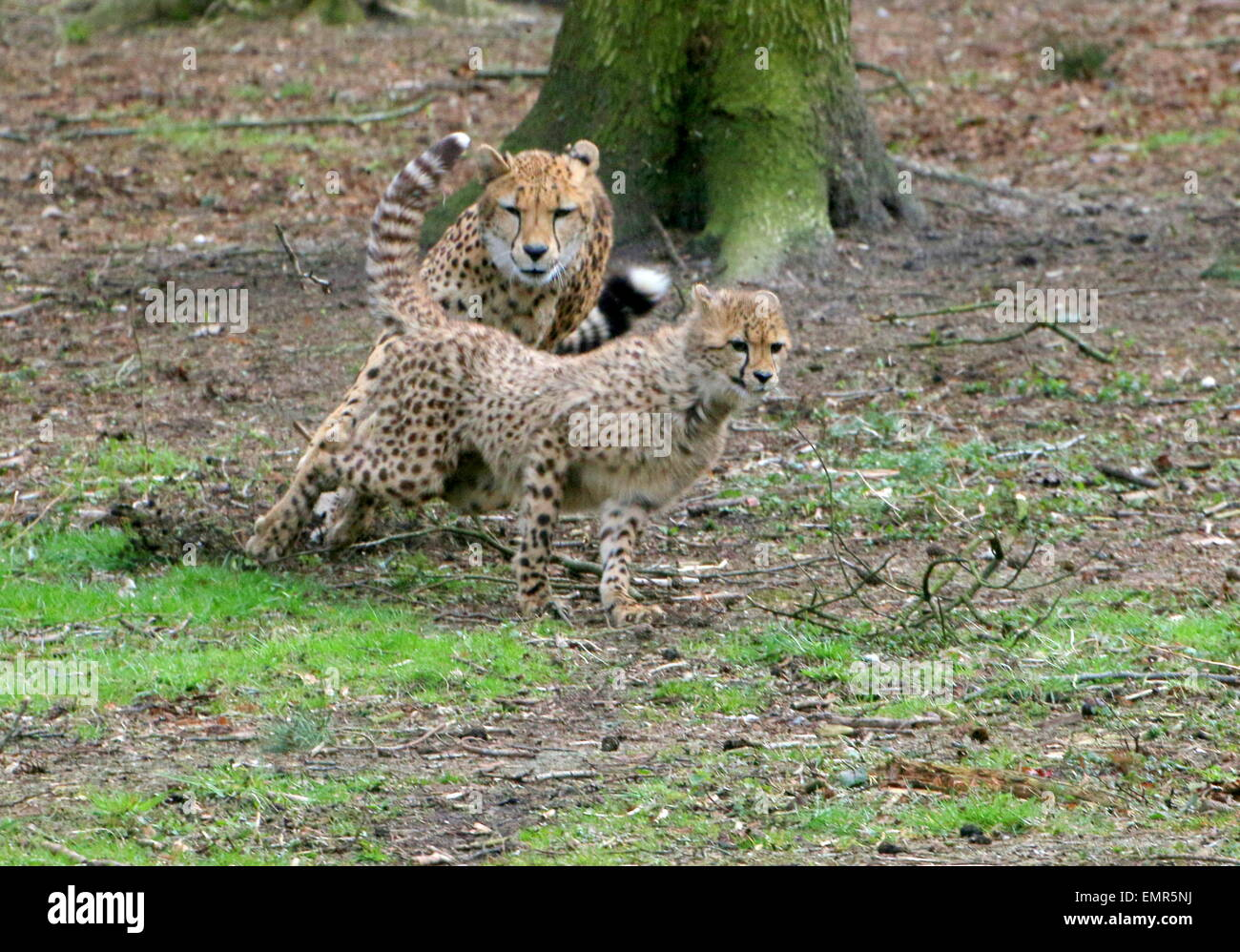 Cheetah cub  (Acinonyx jubatus) being chased by his mother - Stock Image
