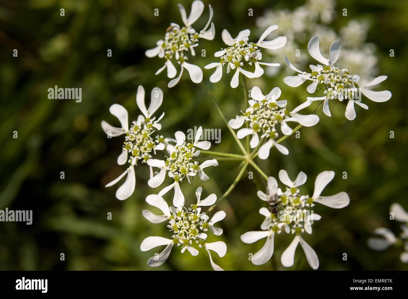 Closeup of an Orlaya Grandiflora from the Apiaceae family Stock Photo