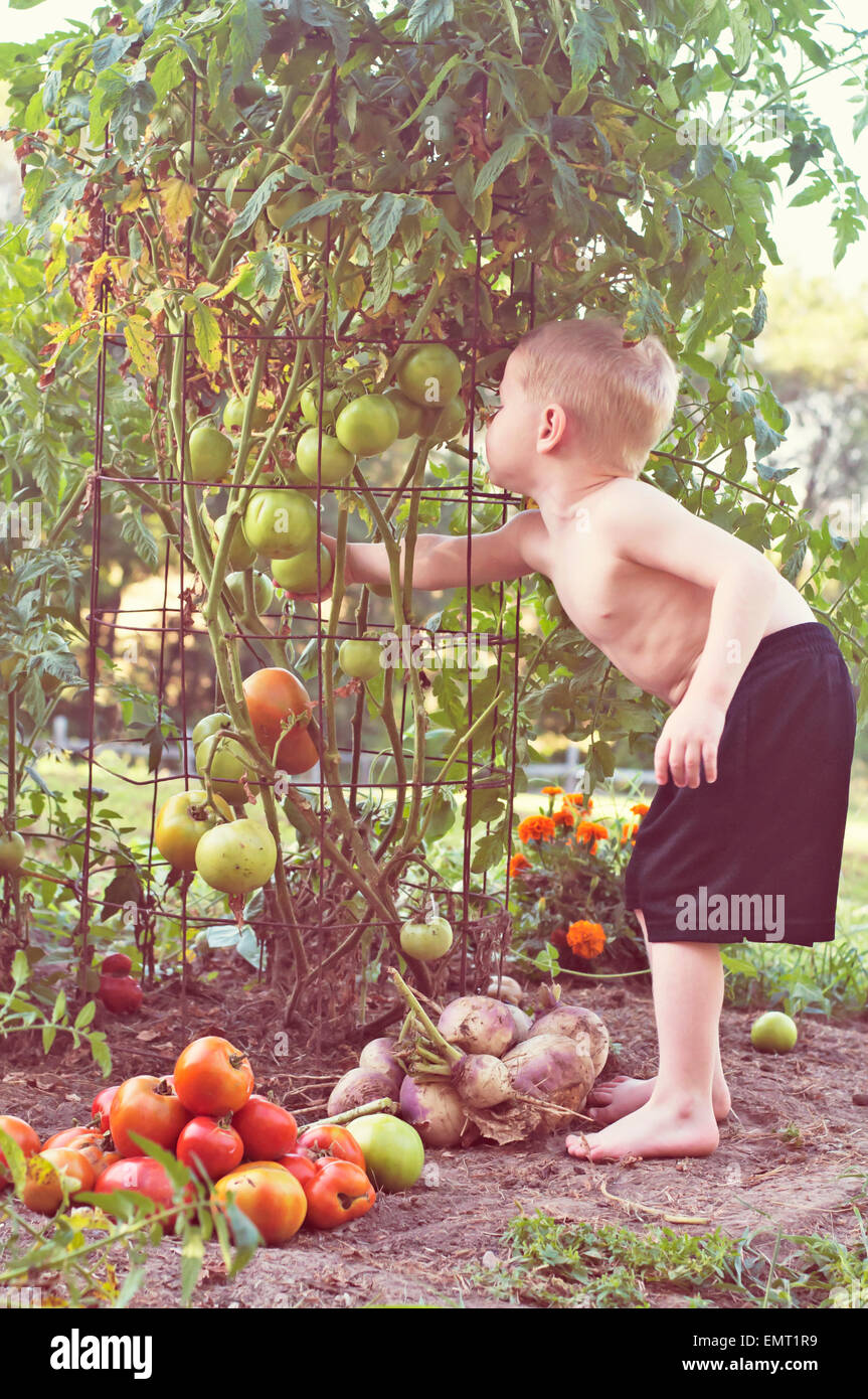 child picking tomatoes out of vegetable garden - Stock Image