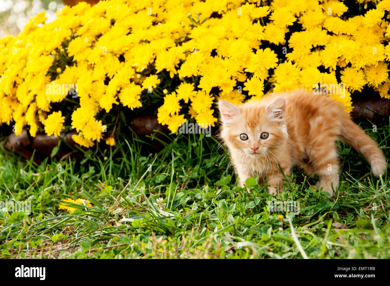 Scaredy cat yellow mums - Stock Image