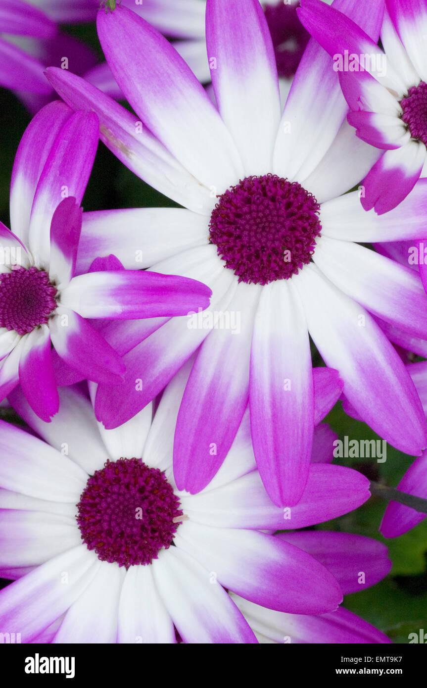 "Sunsenereba ""Magenta Bicolor"" - Stock Image"