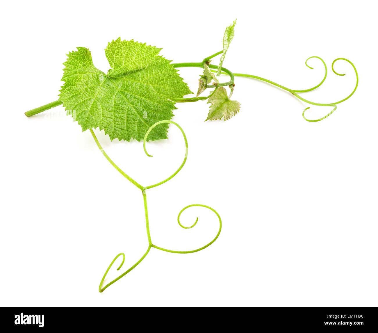 Fresh Green Grape Leaf on isolated white Background - Stock Image