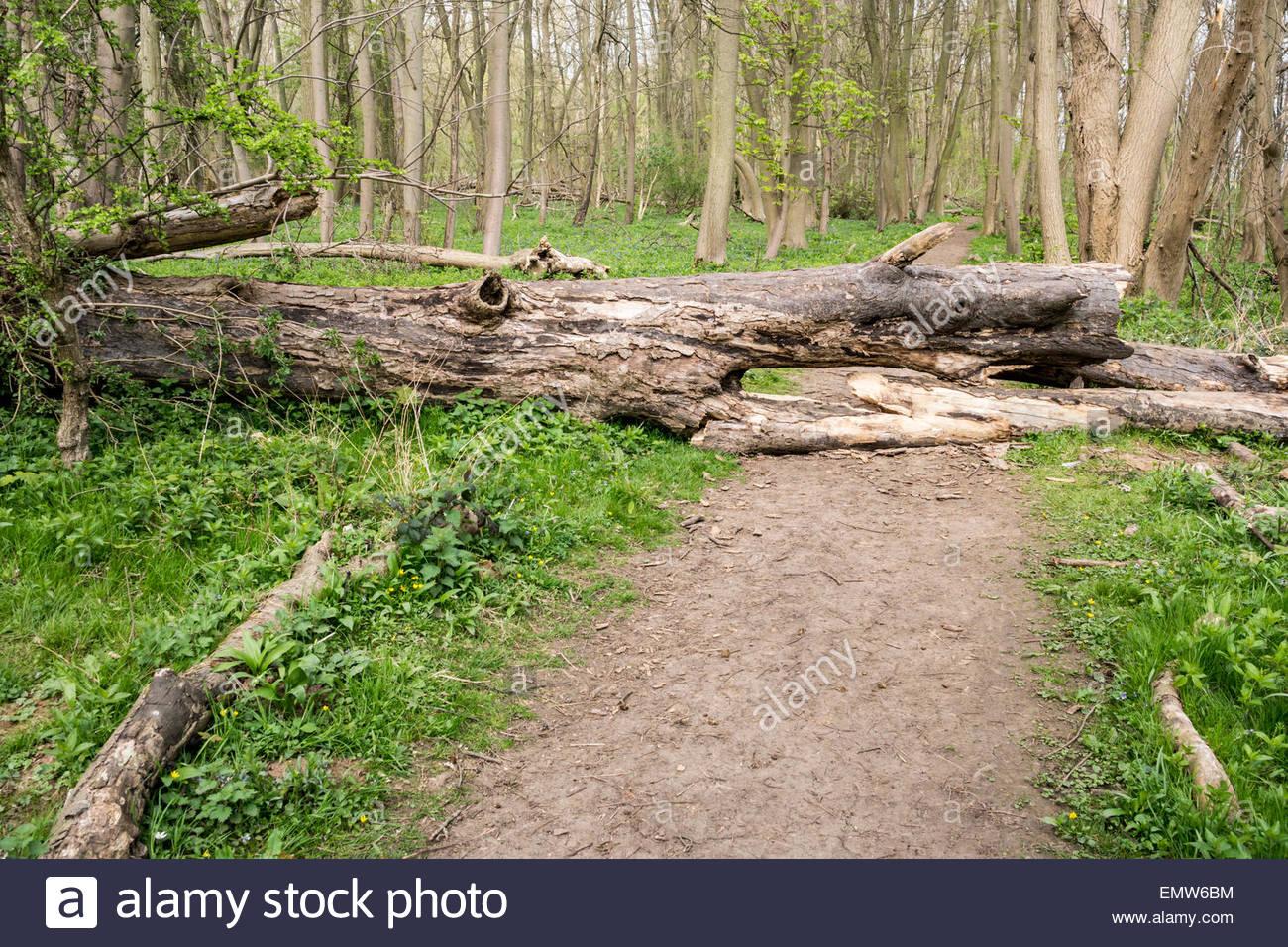 Fallen tree blocking a woodland path - Stock Image