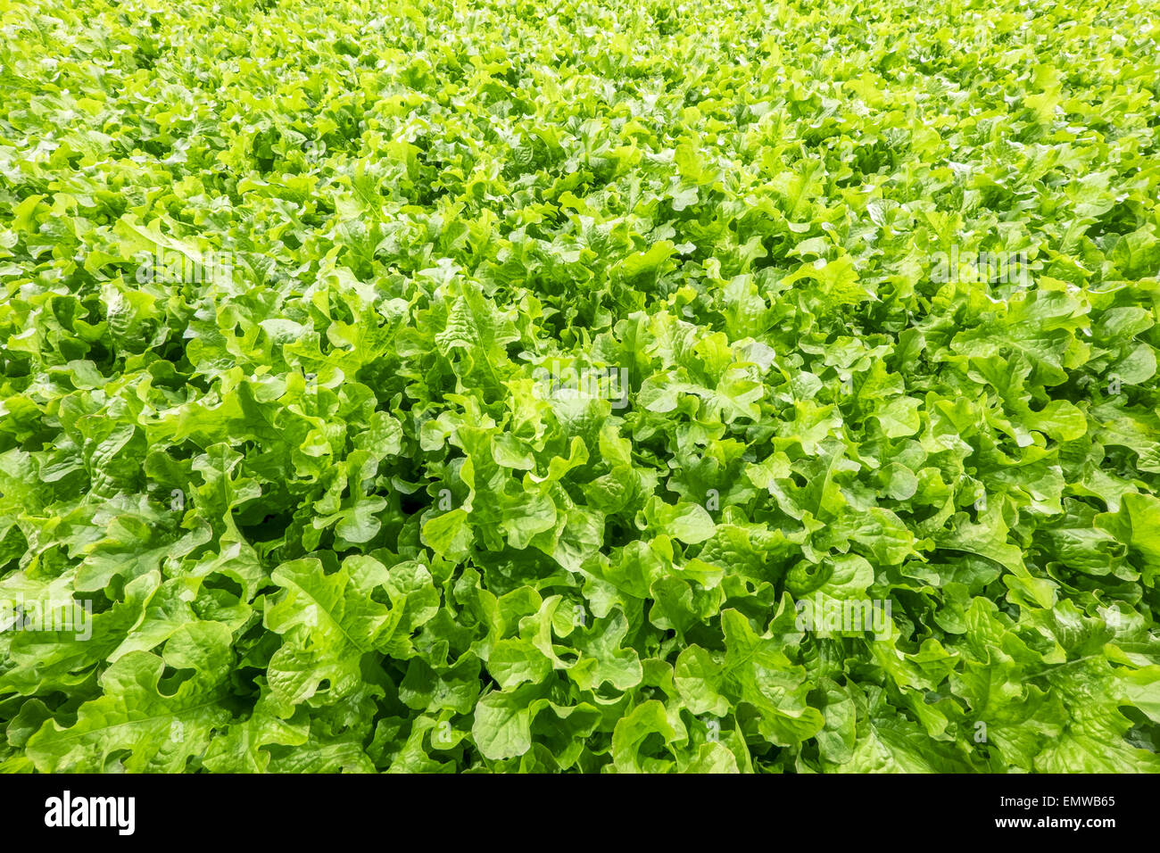 Background of freshly grown lettuce - Stock Image