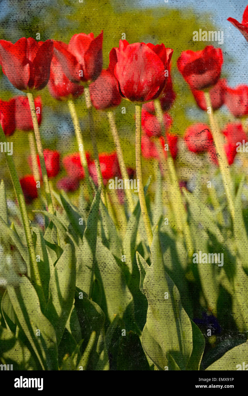 Red tulips with distressed, grungy texture overlay, which adds aged or weathered effect to the photo. - Stock Image