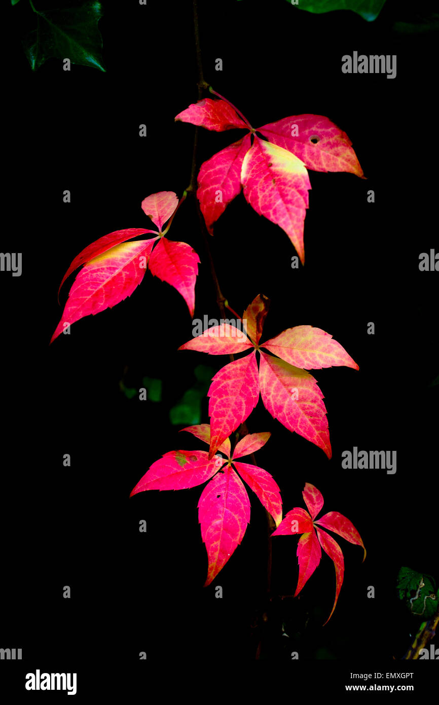 Virginia Creeper; Leaves in Autumn Cornwall; UK - Stock Image