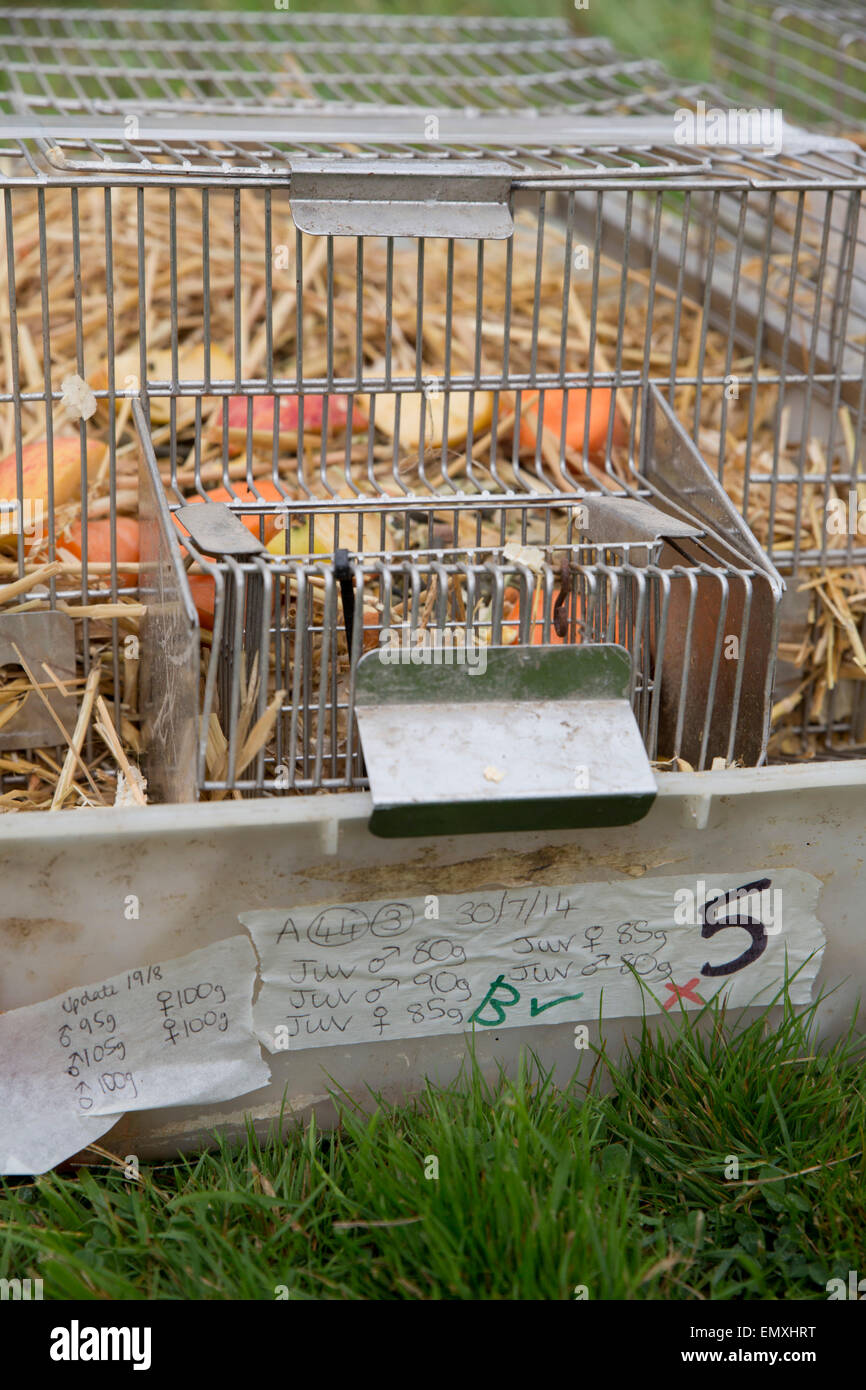 Water Vole Release; Cage used to House Voles Cornwall; UK - Stock Image