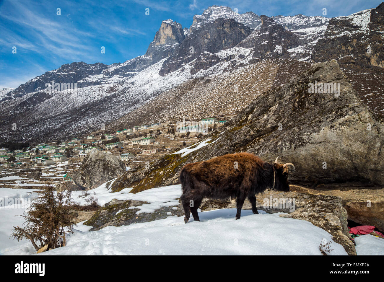 View of mount Khumbila, Khumjung village with a Dzo in the foreground - Stock Image