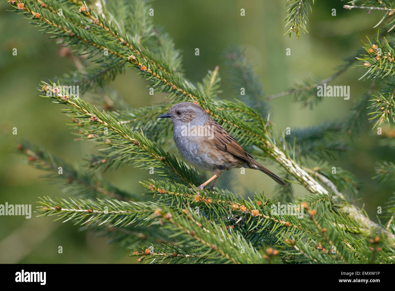 Hedge Sparrow Prunella modularis on conifer in Spring - Stock Image