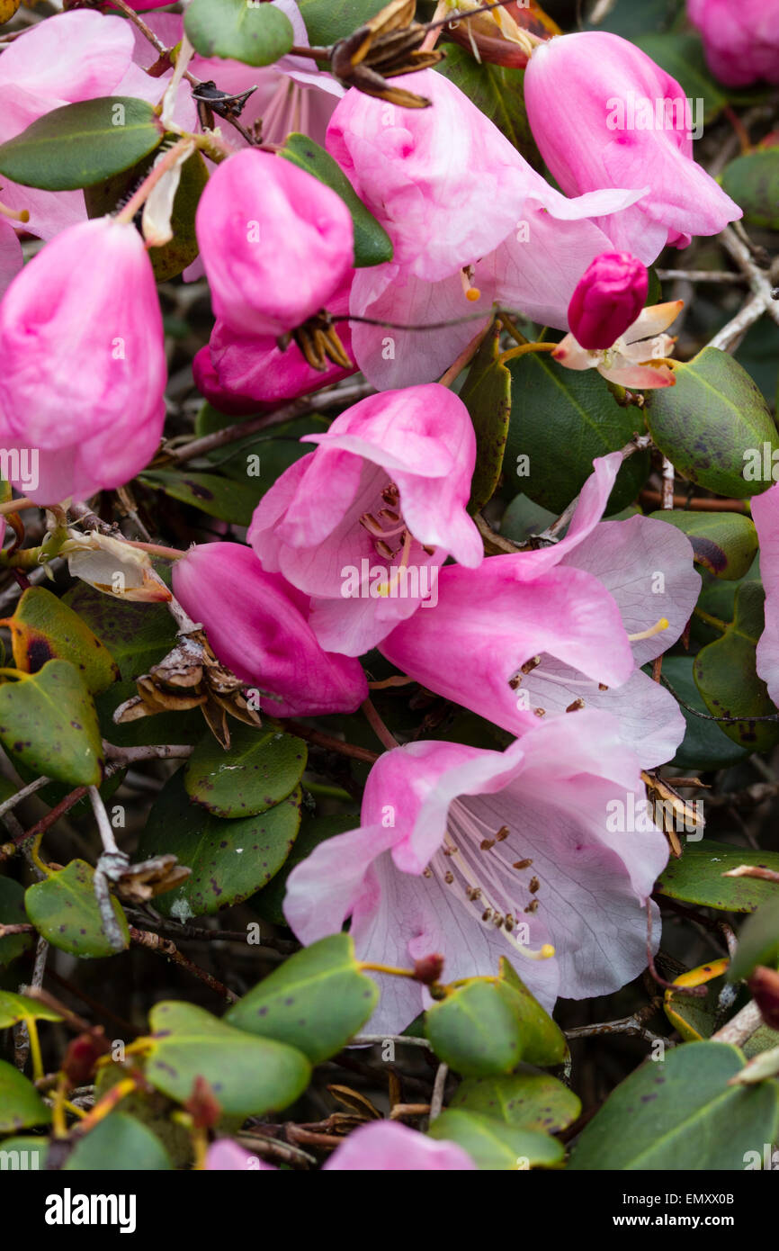 Pink flowers and rounded foliage of Rhododendron williamsianum - Stock Image