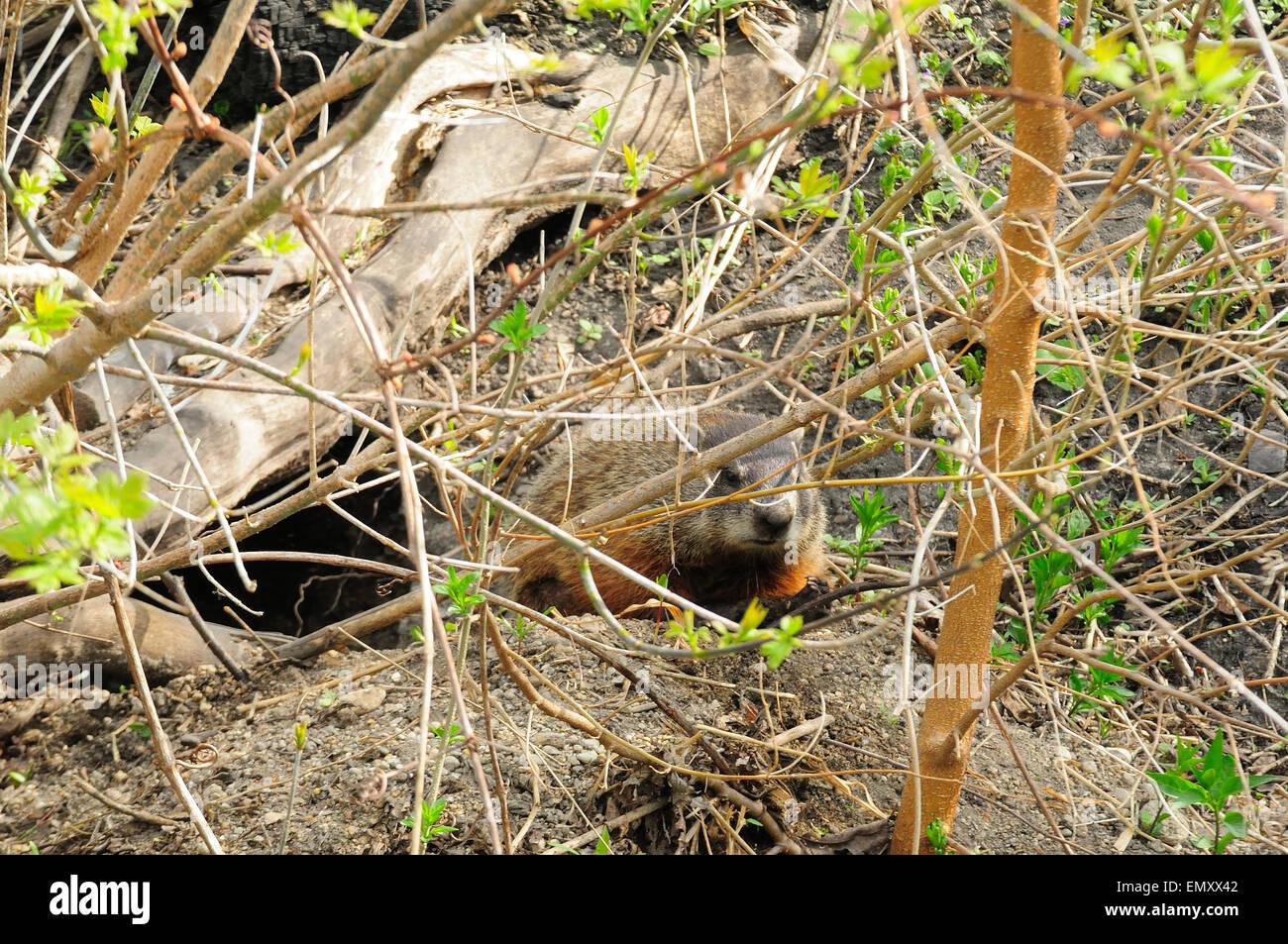 Ground Hog or Woodchuck outside den.  Marmota monax - Stock Image