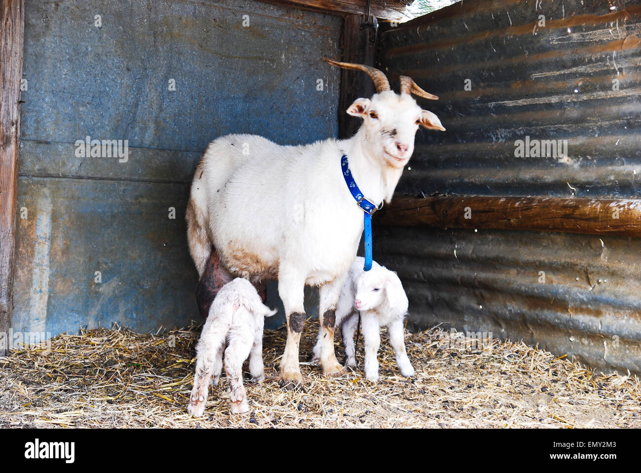 Nanny goat with twin kids in a barn - Stock Image