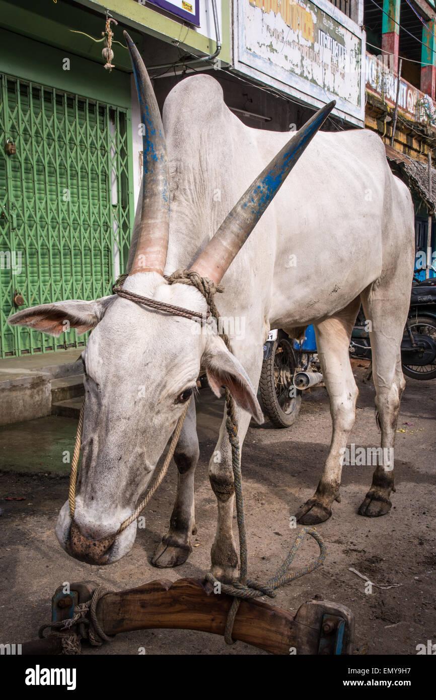Tondainadu bull at the vegetable market in Tiruvannamalai, India - Stock Image