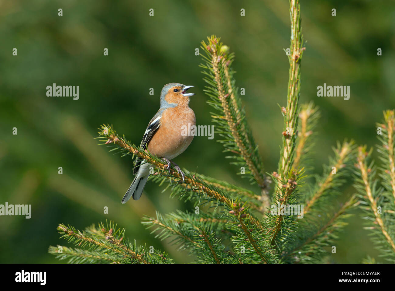 Chaffinch Fringilla coelebs singing Male Early April - Stock Image