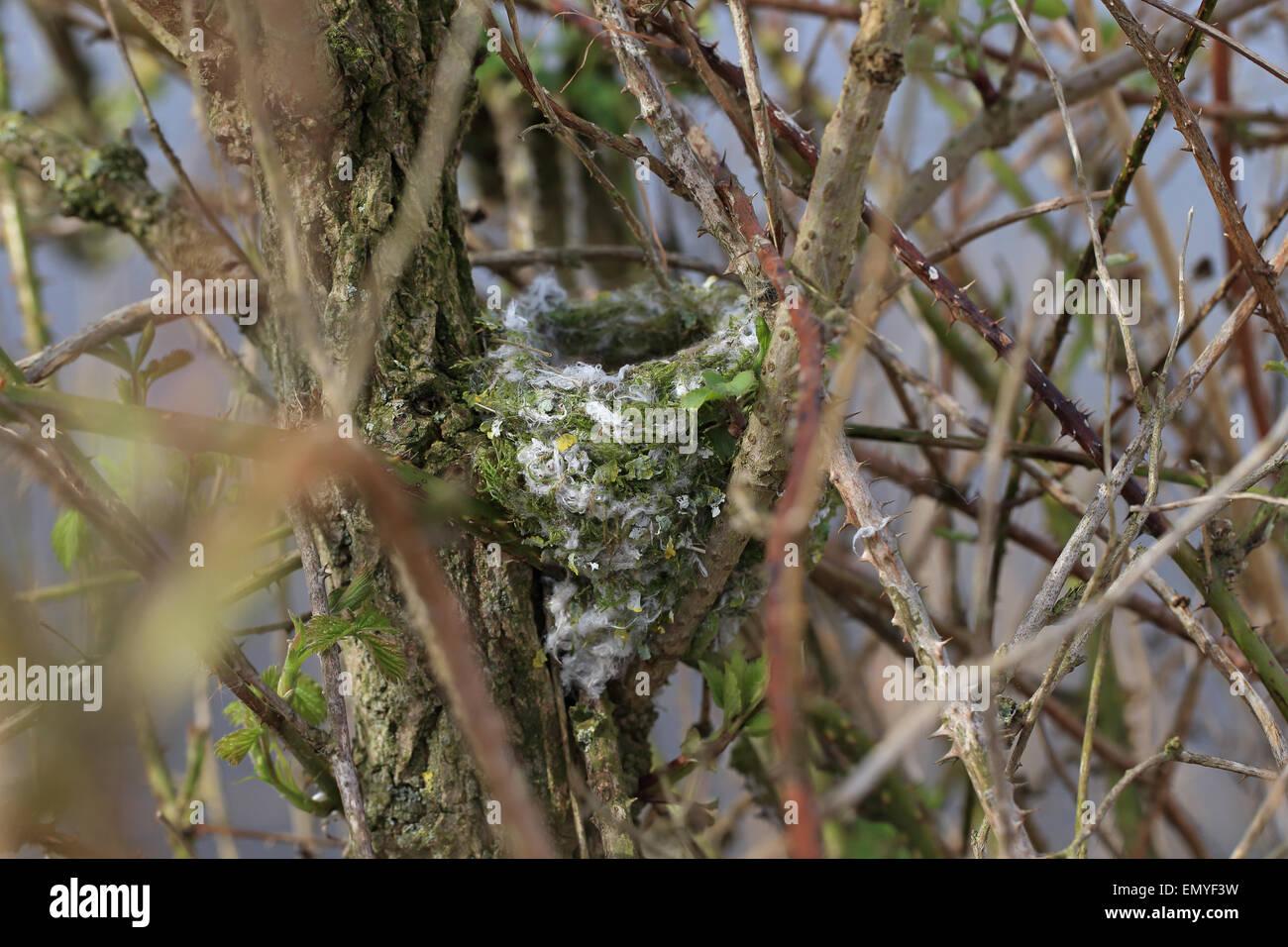 Chaffinch (Fringilla coelebs) nest Stock Photo