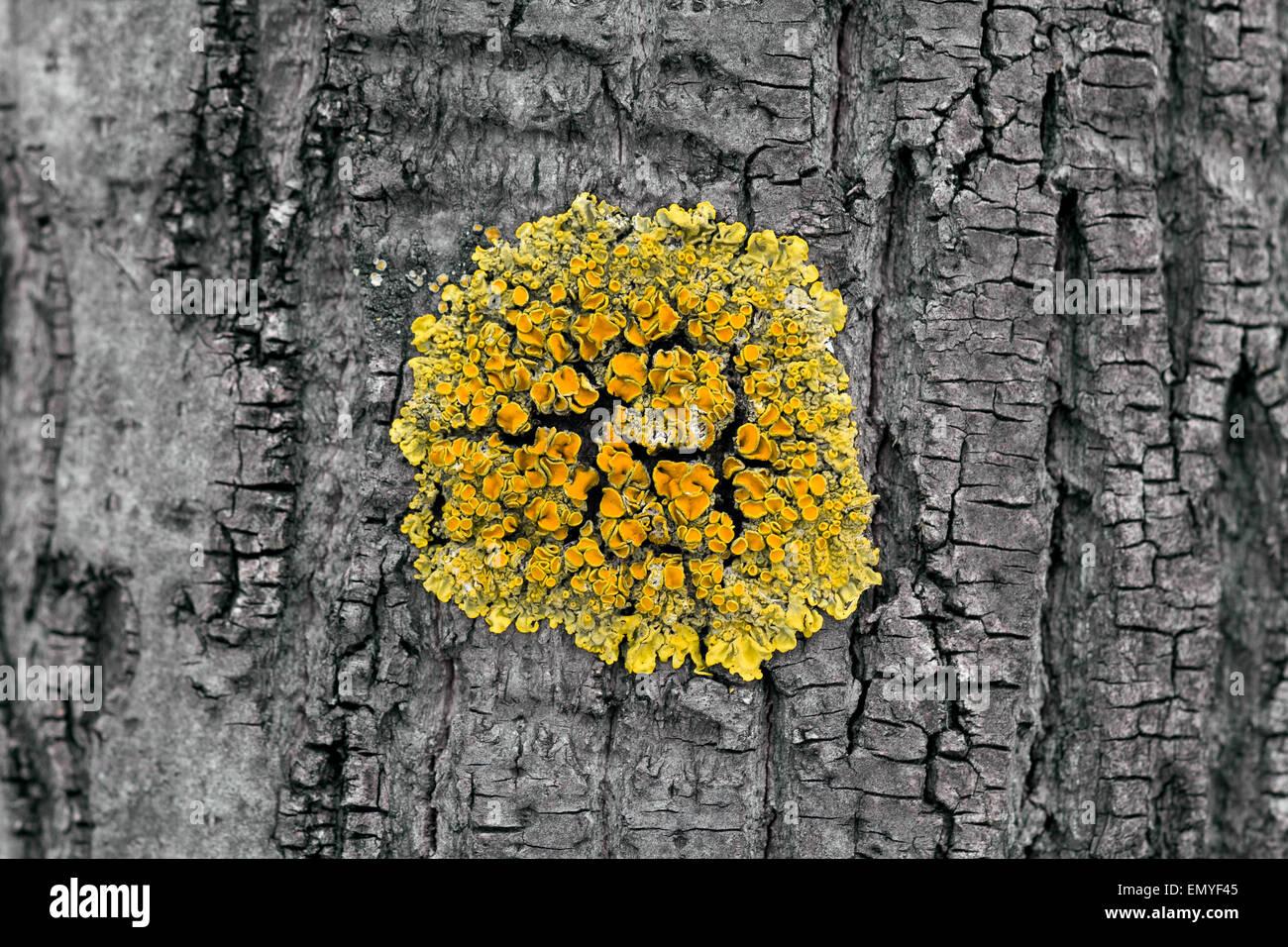 Yellow Xanthoria Parietina Lichen on Gray Tree Trunk - Stock Image