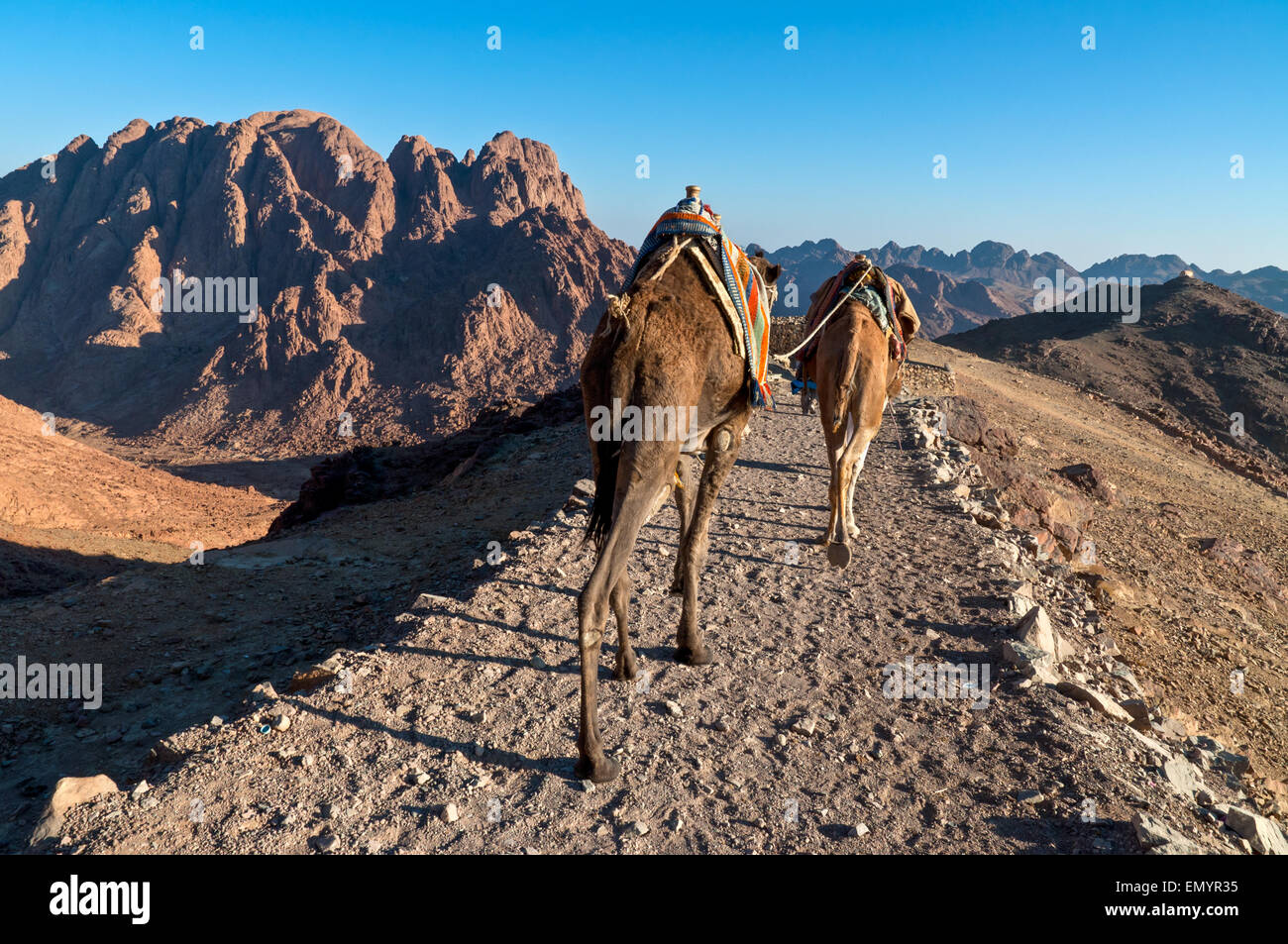 Bedouins and his camels descending from Mount Sinai in Egypt shortly after sunrise - Stock Image