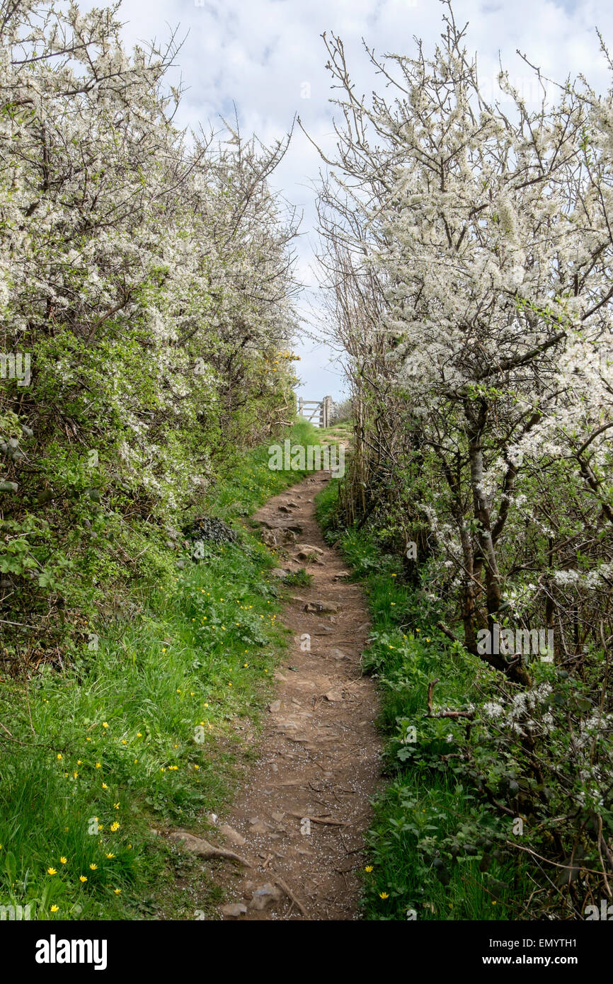 Coast footpath through flowering Blackthorn hedgerows leading to a gate in spring on Gower Peninsula Nicholaston - Stock Image
