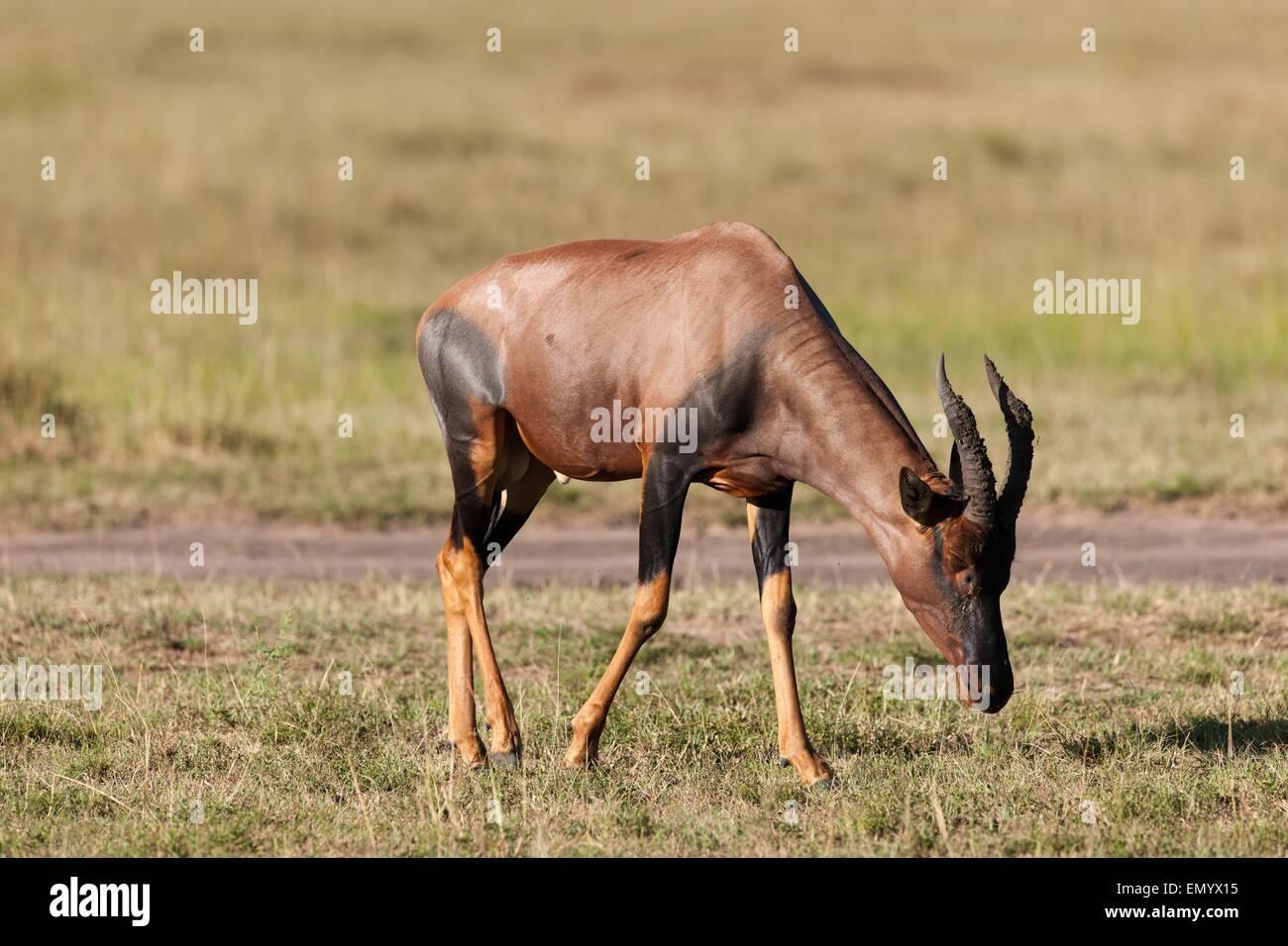 topi antelope in the savanna of Kenya - Stock Image