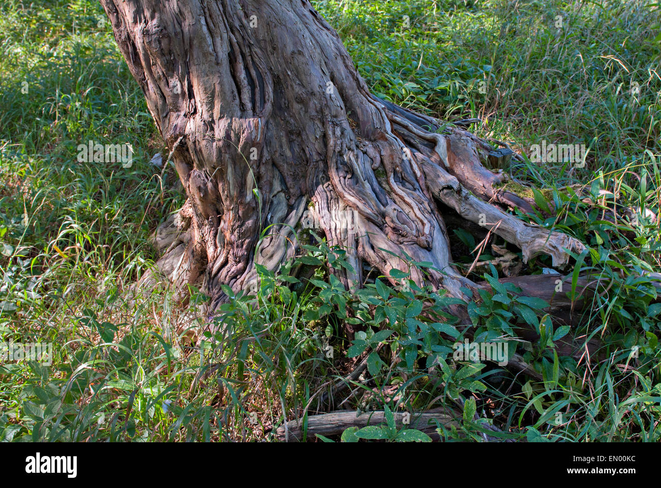 Roots of small Yew Tree - Stock Image