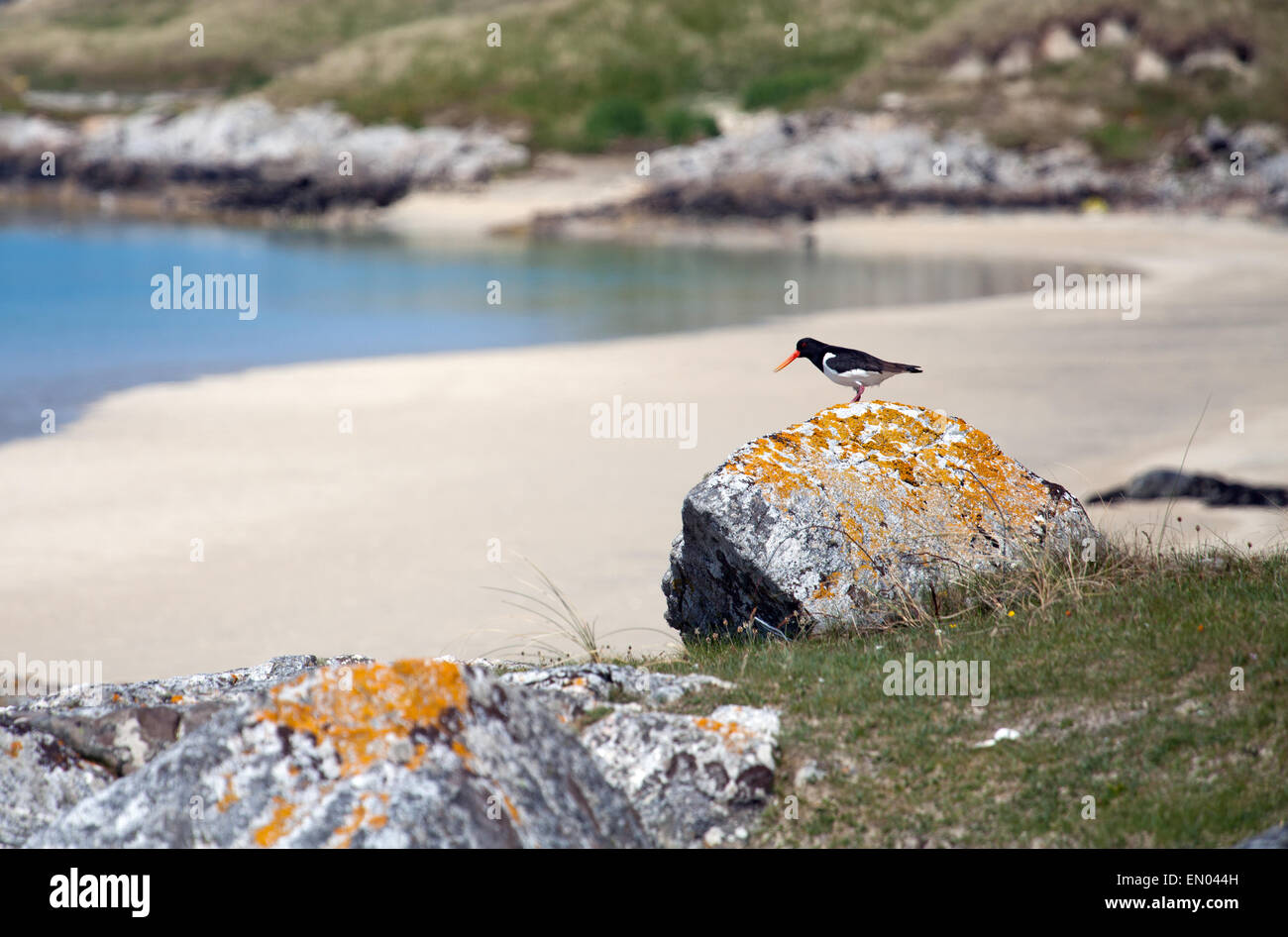 Oystercatcher on the Isle of Harris, Scotland - Stock Image
